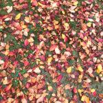 夙川沿いの紅葉が見ごろです(^▽^)/